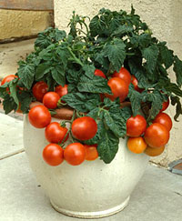 Patio Princess Tomato Planter