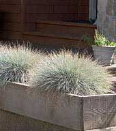 Festuca in planter